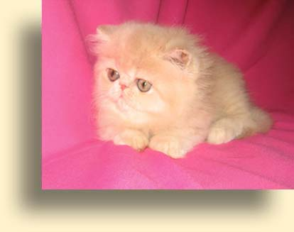 ... 10 06 07 cream male T exotic persian past kittens