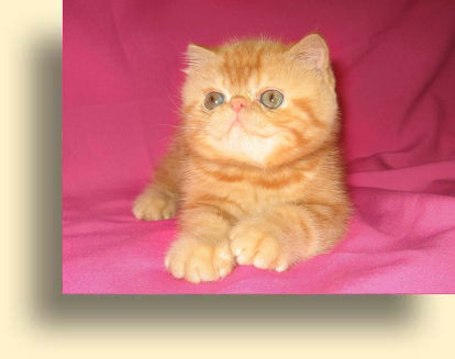 ... 10 06 07 exotic male T exotic persian past kittens