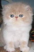 C MATRIX Chapman StanLey V. Cream m pic1 exotic persian past kittens