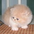 C MATRIX Chapman StanLey V. Cream m pic2 exotic persian past kittens