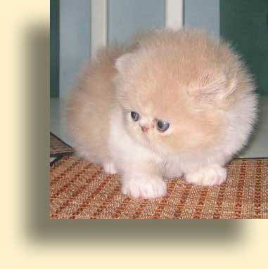 C MATRIX Chapman StanLey V. Cream title exotic persian past kittens