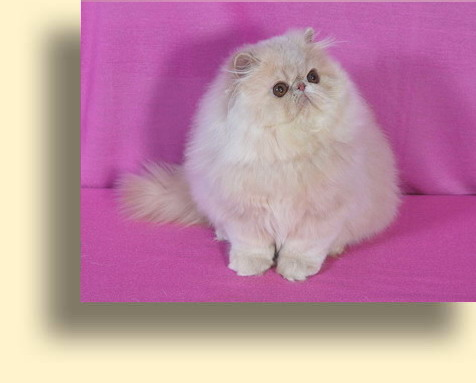 C MATRIX Rich Spencer title1 exotic persian past kittens
