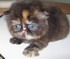 C MATRIX Angelay La Rose m pic1 exotic persian past kittens