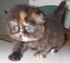 C MATRIX Angelay La Rose m pic4 exotic persian past kittens