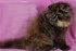 C MATRIX Angelay La Rose m pic6 exotic persian past kittens