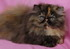 C MATRIX Angelay La Rose m pic8 exotic persian past kittens
