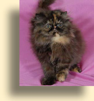 C MATRIX Angelay La Rose title exotic persian past kittens