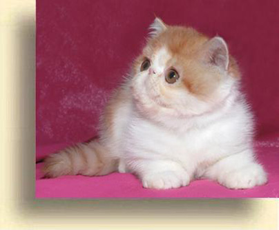 C MATRIX Sweet Klubnichka 1 exotic persian past kittens