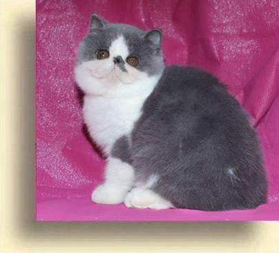 ... 15 julia  exotic persian past kittens