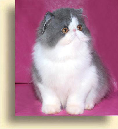 … 4 Blue exotic persian past kittens