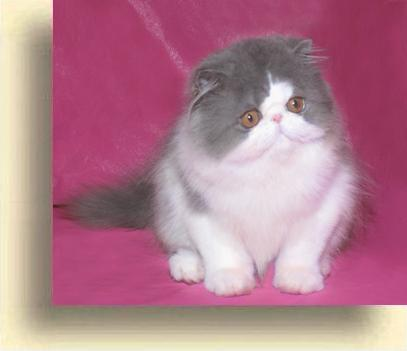 … 5 blue exotic persian past kittens