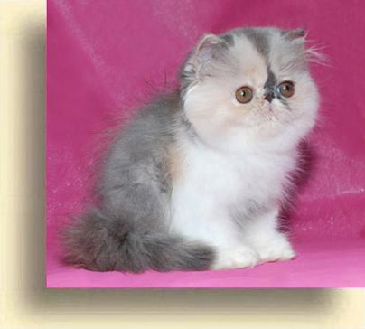 ... 6 Sweet Girl  exotic persian past kittens