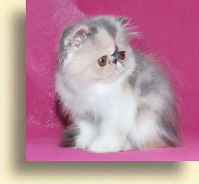 ... 7 Show Girl exotic persian past kittens