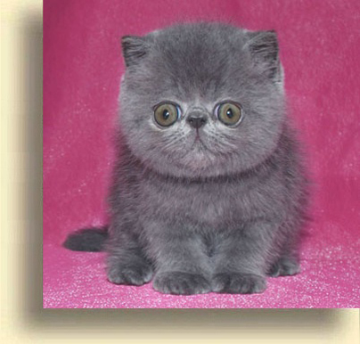 ... Blue Comet 2 exotic persian past kittens