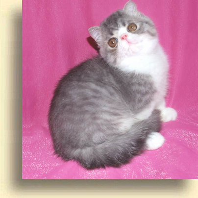 ... C MATRIX exotic Lap Lover2 exotic persian past kittens