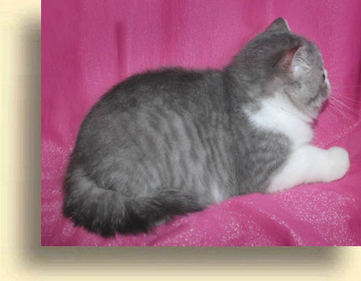 ... C MATRIX exotic Lap Lover3 exotic persian past kittens
