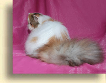 C MATRIX Erotica C Matrix exotic 1 exotic persian past kittens