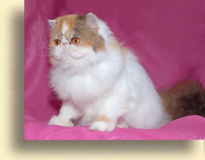 C MATRIX Erotica C Matrix exotic 2 exotic persian past kittens
