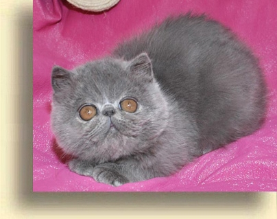 ... Cattery Girl 1 exotic persian past kittens