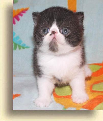 … Exotic Male Black 1 exotic persian past kittens