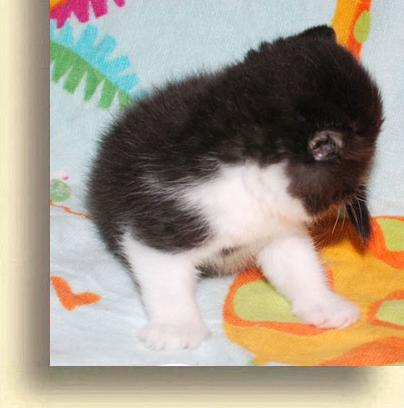 … Exotic Male Black 2 exotic persian past kittens