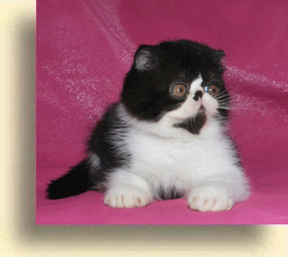 … Exotic Male Black white 0 exotic persian past kittens