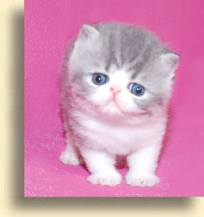 ... Exotic blue white brother exotic persian past kittens