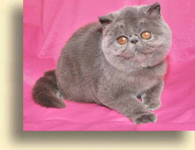 ... Exotic cattery comet 2 exotic persian past kittens