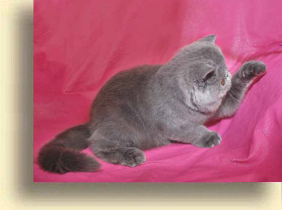 ... Exotic cattery comet 3 exotic persian past kittens