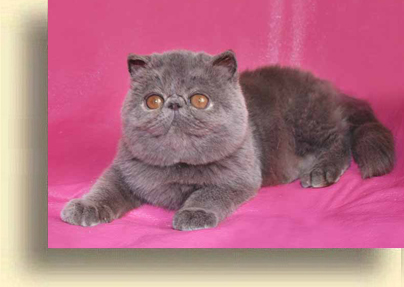 ... Exotic cattery comet exotic persian past kittens