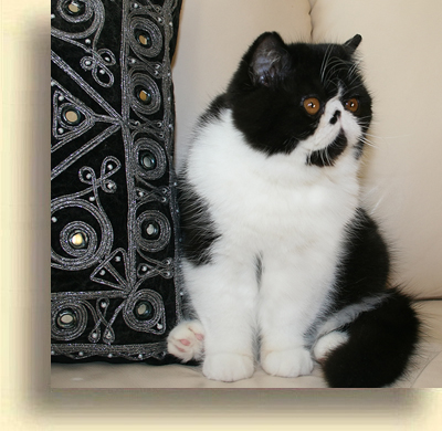 … Exotic cattery misha 1 exotic persian past kittens
