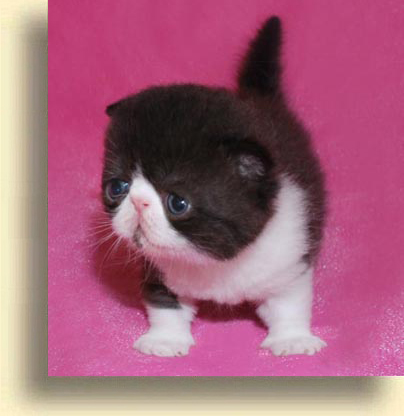 ... black white brother exotic persian past kittens