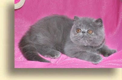 ... cattery girl 2 exotic persian past kittens