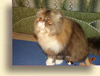 C MATRIX Ceasar ceasar 2 new exotic persian past kittens