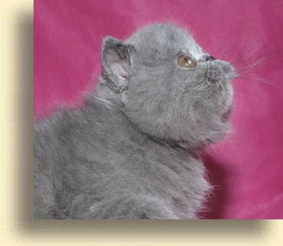 ... exotic blue comet 1  exotic persian past kittens