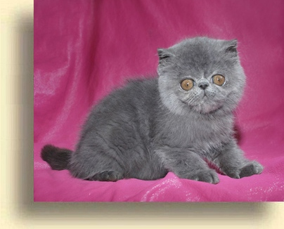 ... exotic blue comet 2  exotic persian past kittens