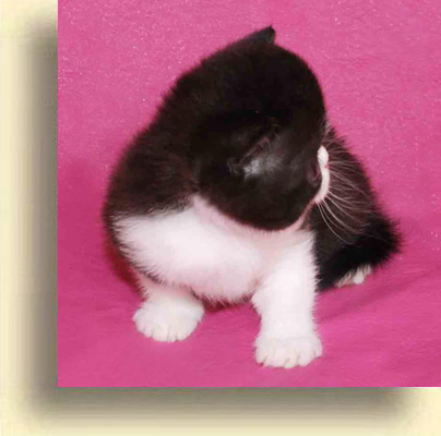 ... exotic cattery boy blue 1 exotic persian past kittens