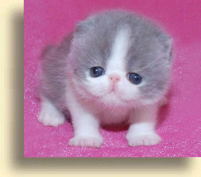 ... exotic cattery meverik 5 exotic persian past kittens