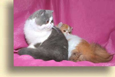 ... exotic julia 2 exotic persian past kittens