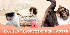"75#""MUFFIN"" Exotic&Persian Cattery"
