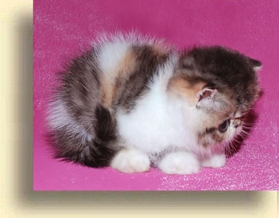 … krasotka exotic persian past kittens