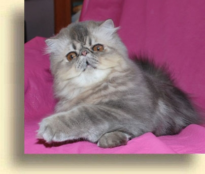 ... male blue tabby exotic 2 exotic persian past kittens