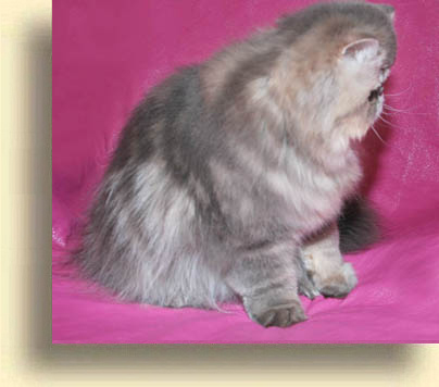 ... male blue tabby exotic 3 exotic persian past kittens