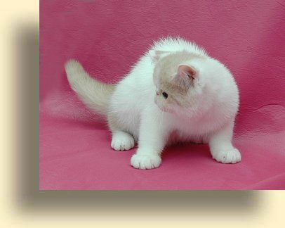 C MATRIX Blondie title exotic persian past kittens