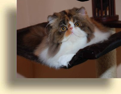 C MATRIX Nice Girl title exotic persian past kittens