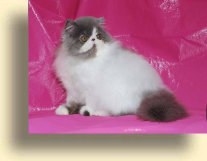 C MATRIX Polar Bear title exotic persian past kittens