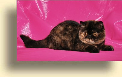 C MATRIX Pure Beauty title exotic persian past kittens