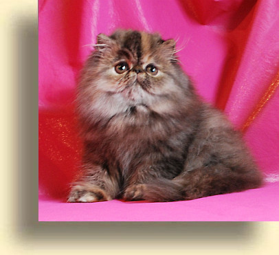 C MATRIX Geeta title 3 exotic persian past kittens