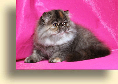 C MATRIX Seeta title 3 exotic persian past kittens