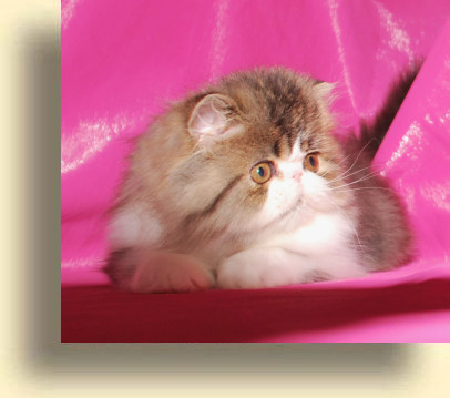 C MATRIX Alen title 2 exotic persian past kittens
